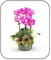 Hediye Orkide Çiçeği