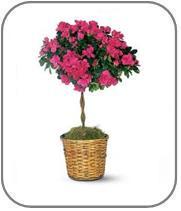 Hediye Açelya Çiçeği