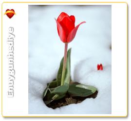 Sevgiliye Kırmızı Lale Ne Anlama Gelir